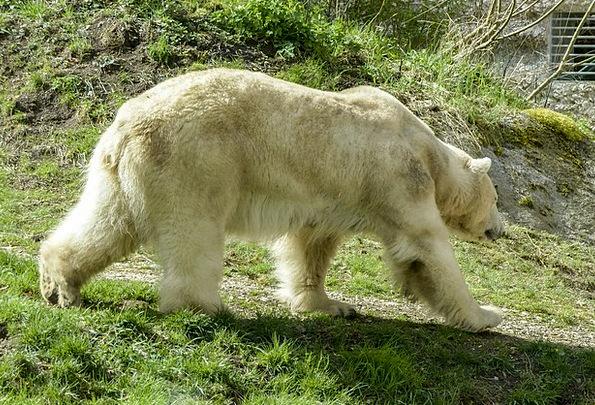 Polar Bear Feminine Animal Physical Female Natural