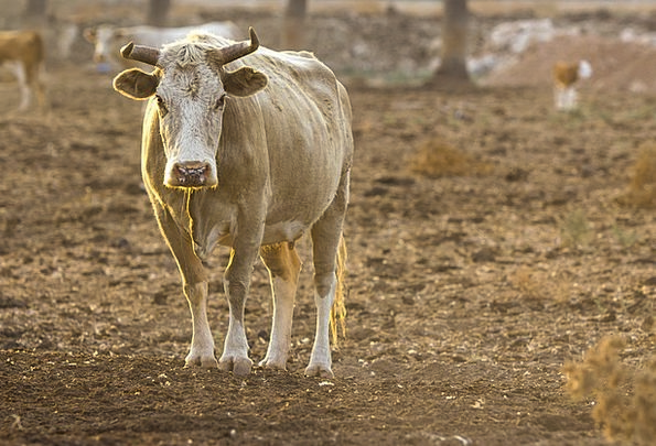 Bull Decree Physical Cow Intimidate Animal Farm Fa