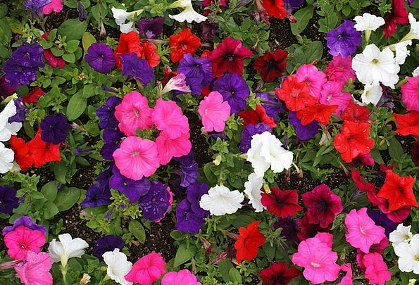Petunia Floret Colours Flower Multiple Manifold Bl