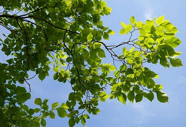Leaves Greeneries Traffic Lime Transportation Tree