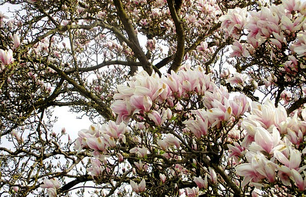 Magnolia Tree Trees Plants Magnolia Flowers Flower