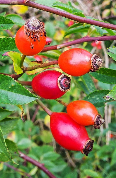 Rose Hip Drink Food Autumn Antioxidant Red Rosa Ca