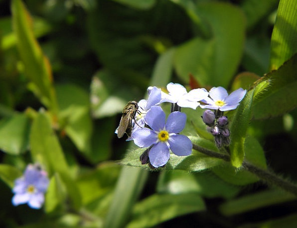 Fly Hover Bug Forget Me Not Insect Blue Flower For