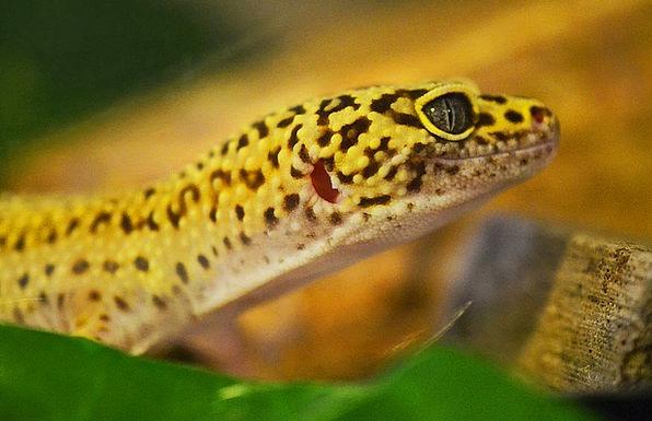 Gecko Lizard Leopard Gecko Nature Reptile Yellow L
