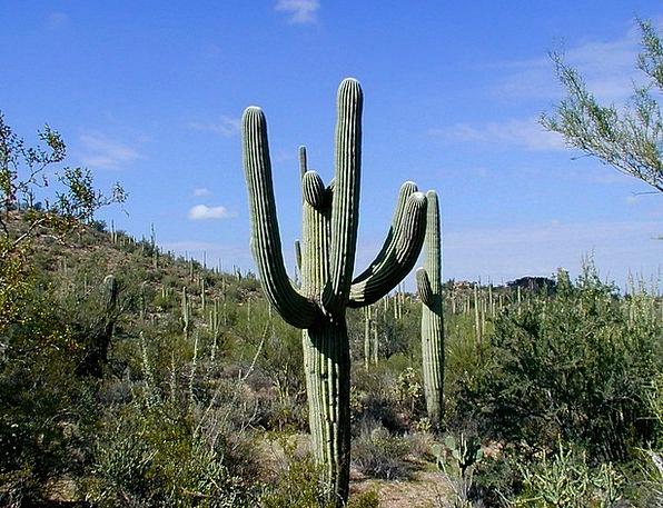 Cactus Landscapes Nature Saguaro National Park Sag