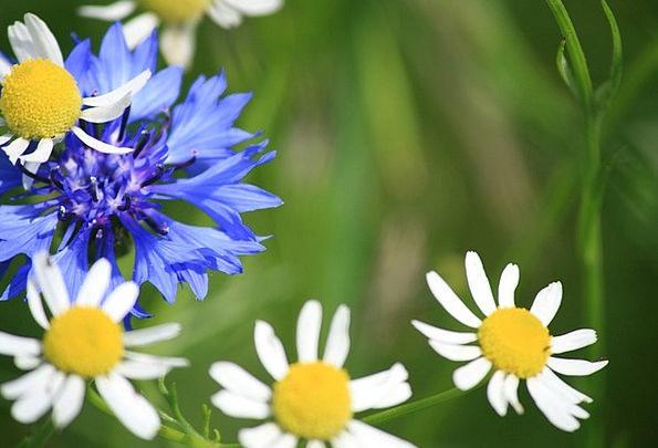 Flowers Plants Azure White Snowy Blue Wildflowers