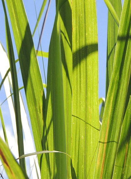 Leaves Greeneries Green Lime Reed Bed