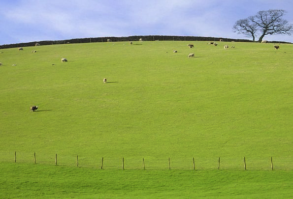Pastureland Ewe Tree Sapling Sheep Grass Lawn Sky