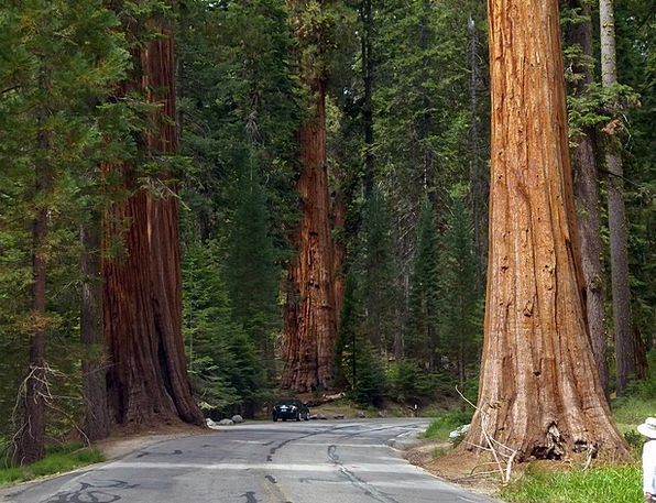 Sequoia Trees Landscapes Nature National Nationwid