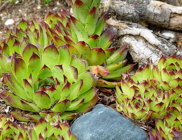 Succulent Juicy Landscapes Vegetable Nature Leaves