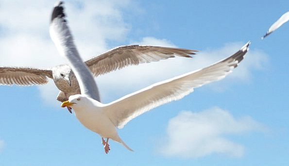 Seagulls Textures Hovering Backgrounds Birds Natur