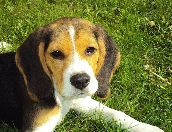 Beagle Puppy Hound Beagle Dog Canine Purebred Dogl