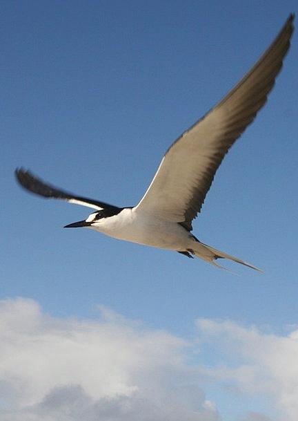 Schwalbe Sooty Tern Tern Bill Onychoprion Fuscatus