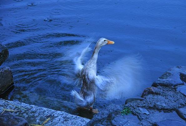 Duck Stoop Instant Water Aquatic Moment