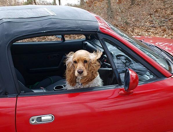 Cocker Spaniel Canine Car Carriage Dog Happy Conte