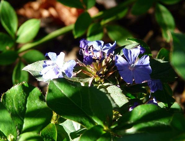 Auriculata Landscapes Floret Nature Blue Azure Flo