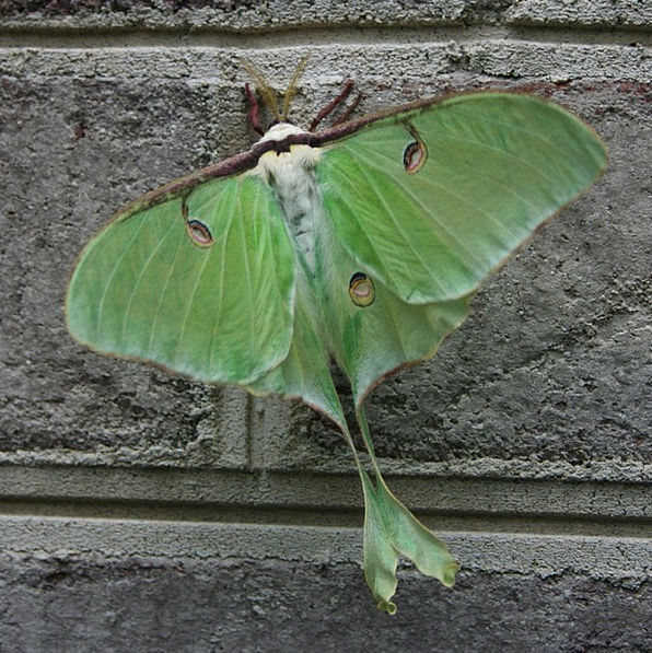 Moth Lime Luna Green Nature Bug Germ Shape Insect