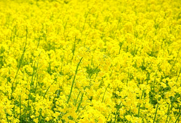 Field Of Rapeseeds Landscapes Nature Blütenmeer Oi