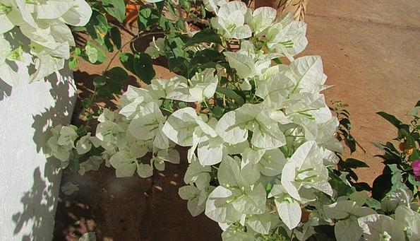 Wildflower Weed Landscapes Floret Nature Bougainvi