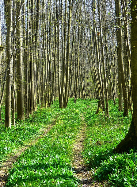 Forest Woodland Landscapes Nature Bear'S Garlic Fo