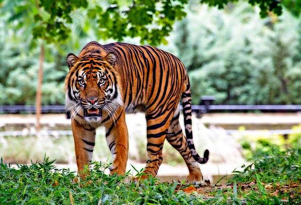 Sumatran Tiger Landscapes Nature Big Cat Tiger Mam