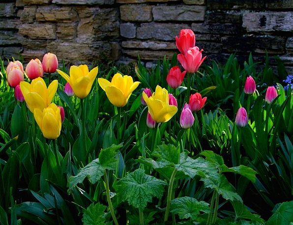 Tulips Plants Tulip Sea Flowers Germany Sea Of Flo