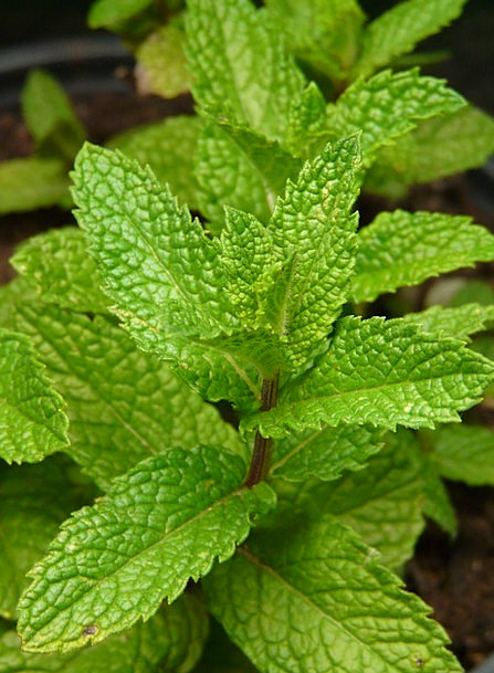 Lemon Balm Landscapes Ointment Nature Plant Vegeta