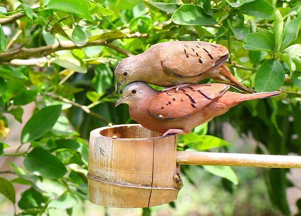 Love Dove Pacifists Bird Fowl Doves Country Birds