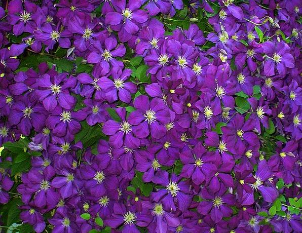 Clematis Violet Mauve Flowers Blossoms Purple Elab
