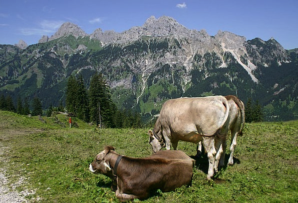 Tyrol Cows Intimidates Gräner Annoy Alpe Gimpel Re