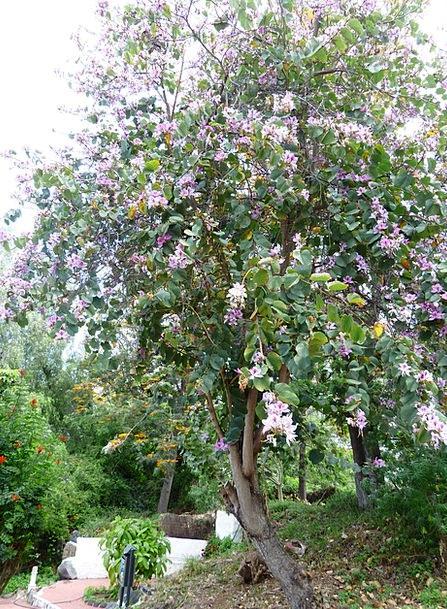 Bauhinie Sapling Bloom Flower Tree Fabaceae Flowers Plants