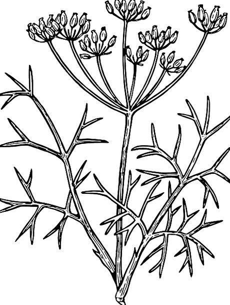 Fennel Florae Herbs Basils Plants Leafy Flowers Br