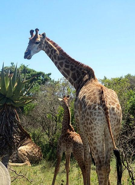 Giraffes Landscapes Nature Africa Baby Giraffe Nat
