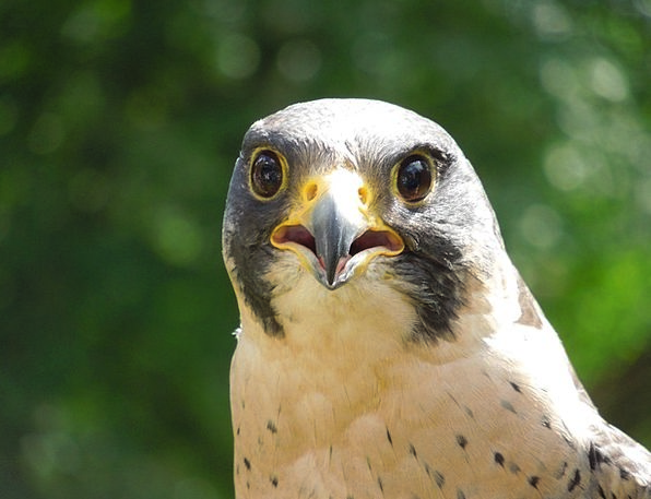 Peregrine Falcon Landscapes Nature Nature Countrys