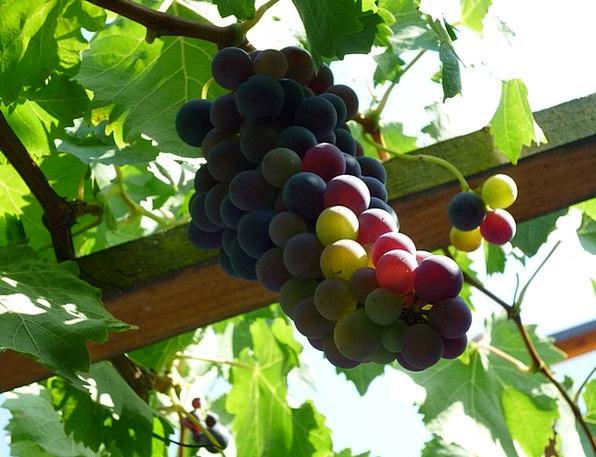 Grapes Drink Crop Food Autumn Fall Harvest Vineyar