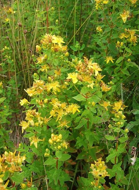 Wild Herb Landscapes Nature Medicinal Herbs St Joh