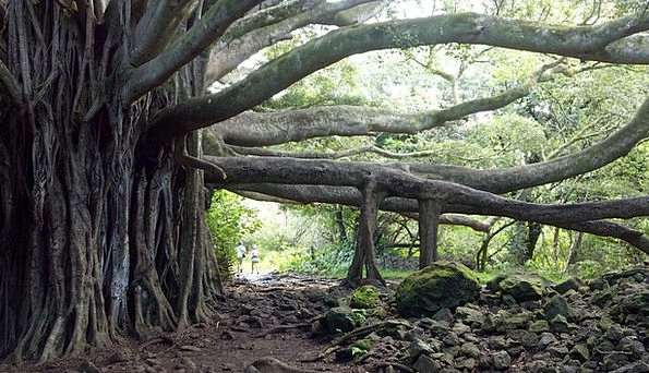 Banyan Tree Vacation Sapling Travel Maui Tree Hawa