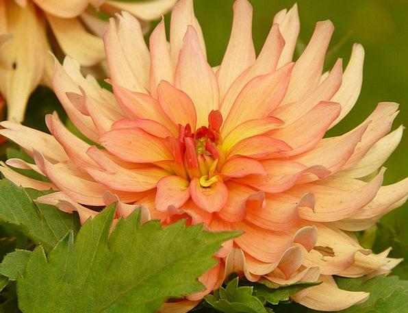Dahlia Landscapes Carroty Nature Flower Floret Ora