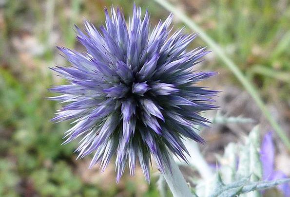 Blue Thistle Landscapes Plants Nature Macro Instru