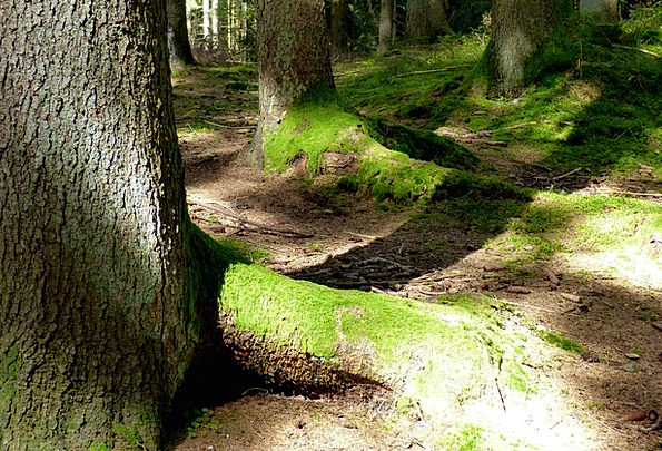 Forest Woodland Landscapes Nature Moss Tree Roots