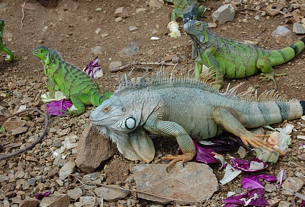 Iguana Green Lime Reptile Wildlife Nature Scales P