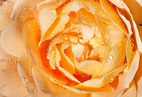 Rose Design Flushed Yellow Creamy Pink Flower Flor