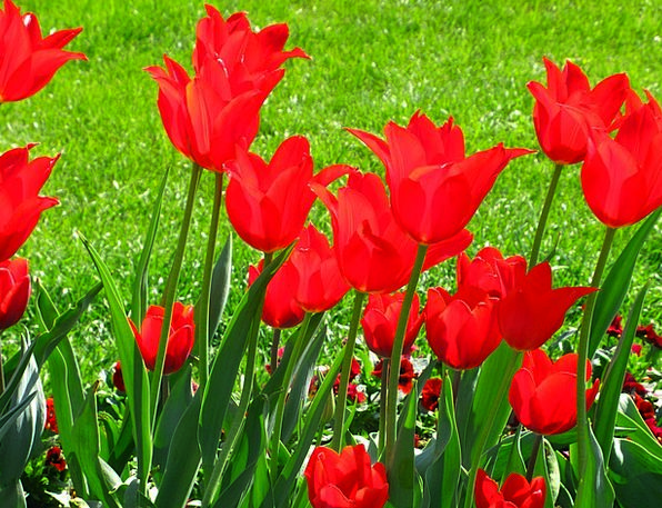 Tulips Plants Spring Coil Flowers Color Hue Intens