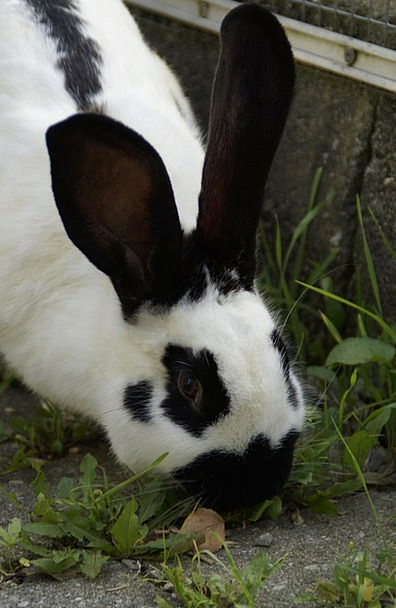 Stall Hase Black And White Hare Head Nager Fur Ear