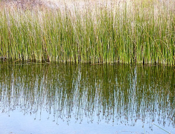 Reeds Canes Pool Reflections Likenesses Pond Grass
