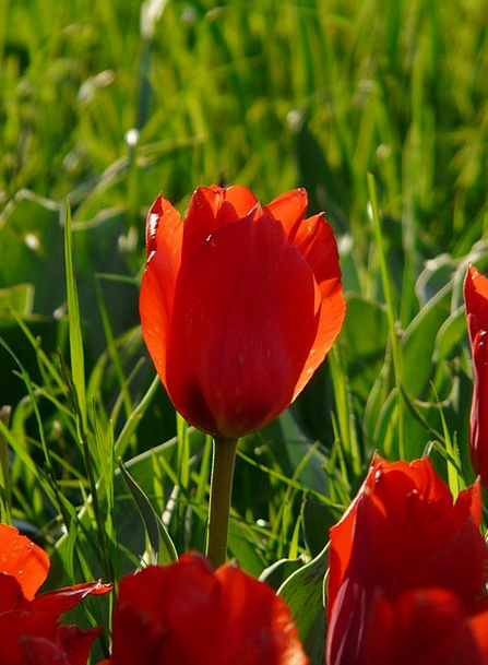 Tulip Landscapes Bright Nature Back Light Tailligh
