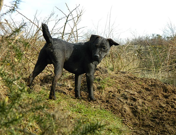 Dog Hunting Shooting Terrier Looking Black Dark Do