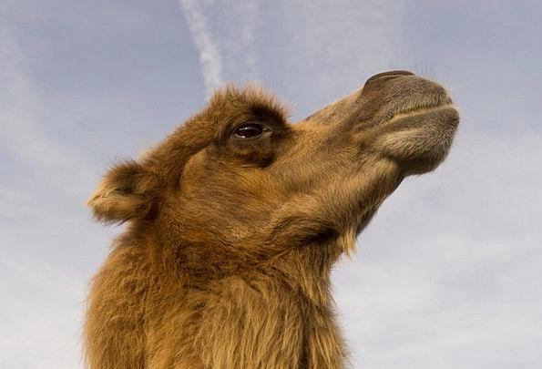 Camel Beige Physical Circus Event Animal Wild Roug