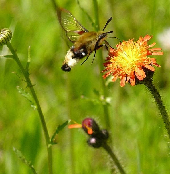 Hummingbird Moth Landscapes Nature Plant Vegetable