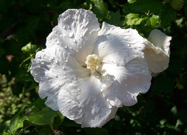 Hibiscus Floret Raindrops Flower Growth Floral Flo